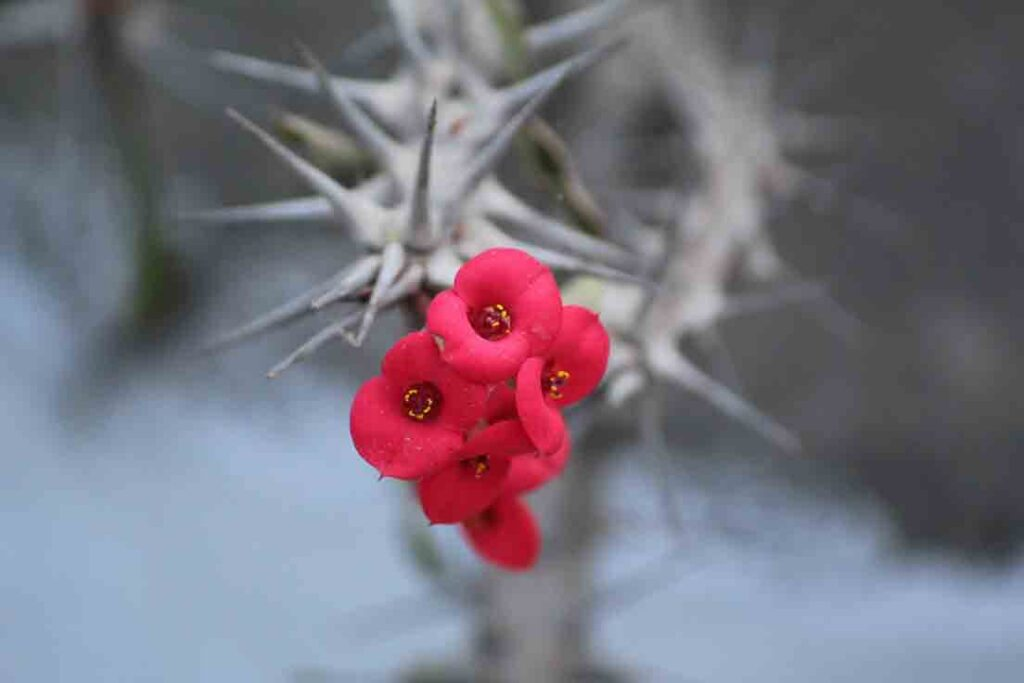 euphorbia-crown-of-thorns-drought-tolerant-plant