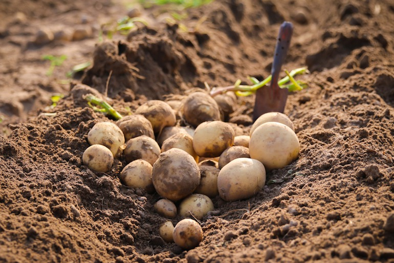 potatoes-vegetable-that-can-grow-in-shade
