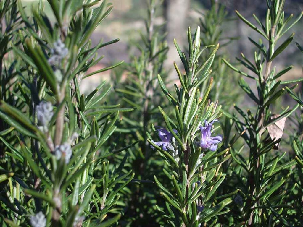 rosemary-plants-that repel-spiders