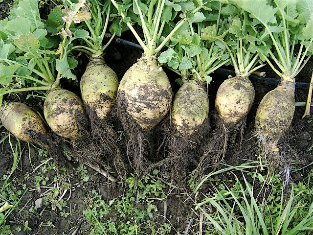 rutabaga-vegetables-that-can-grow-in-shade
