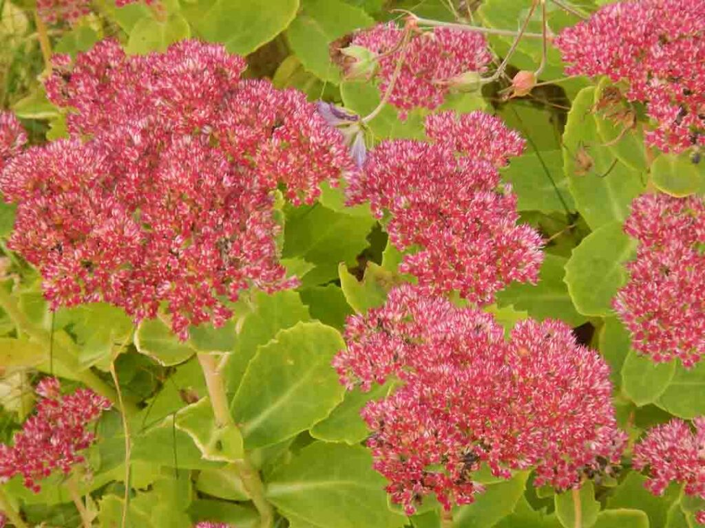 sedum-drought-tolerant-plants