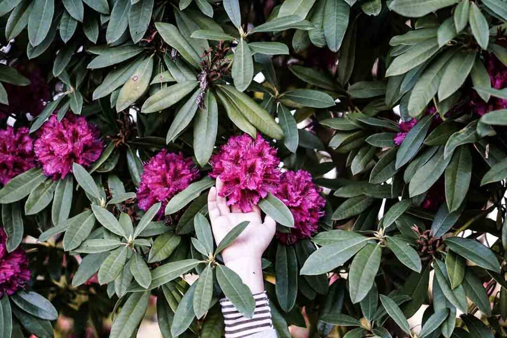 Rhododendron-Shade-Loving-Shrubs-And-Bushes