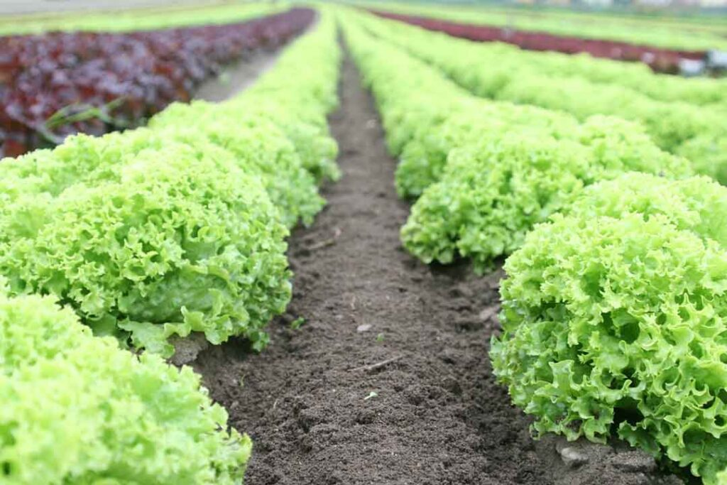 lettuce-what-to-plant-for-an-early-spring-garden