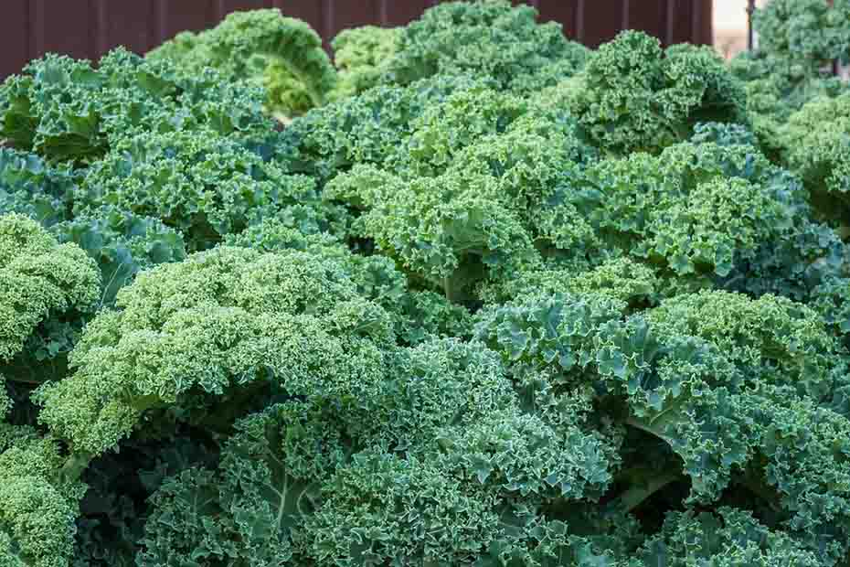 kale-self-seeding-crops