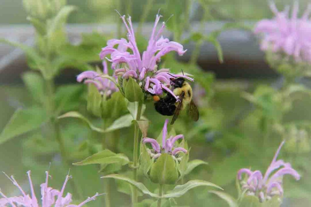 bee-balm-plants-that-repel-mosquitoes