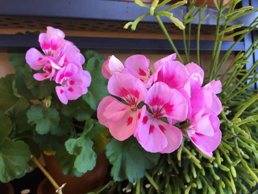 geraniums-plants-that-repel-mosquitoes