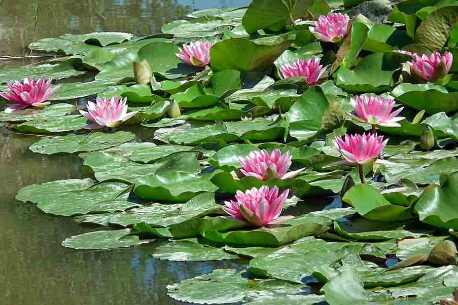 water-lilies-how-to-attract-dragonflies-in-your-garden-for-mosquito-control