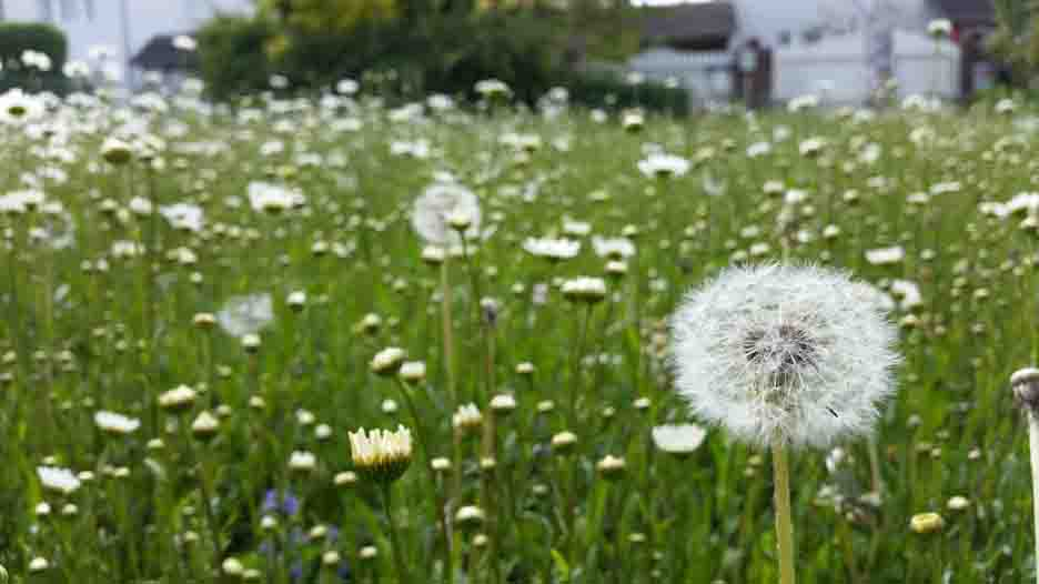 how-to-kill-dandelions-guide