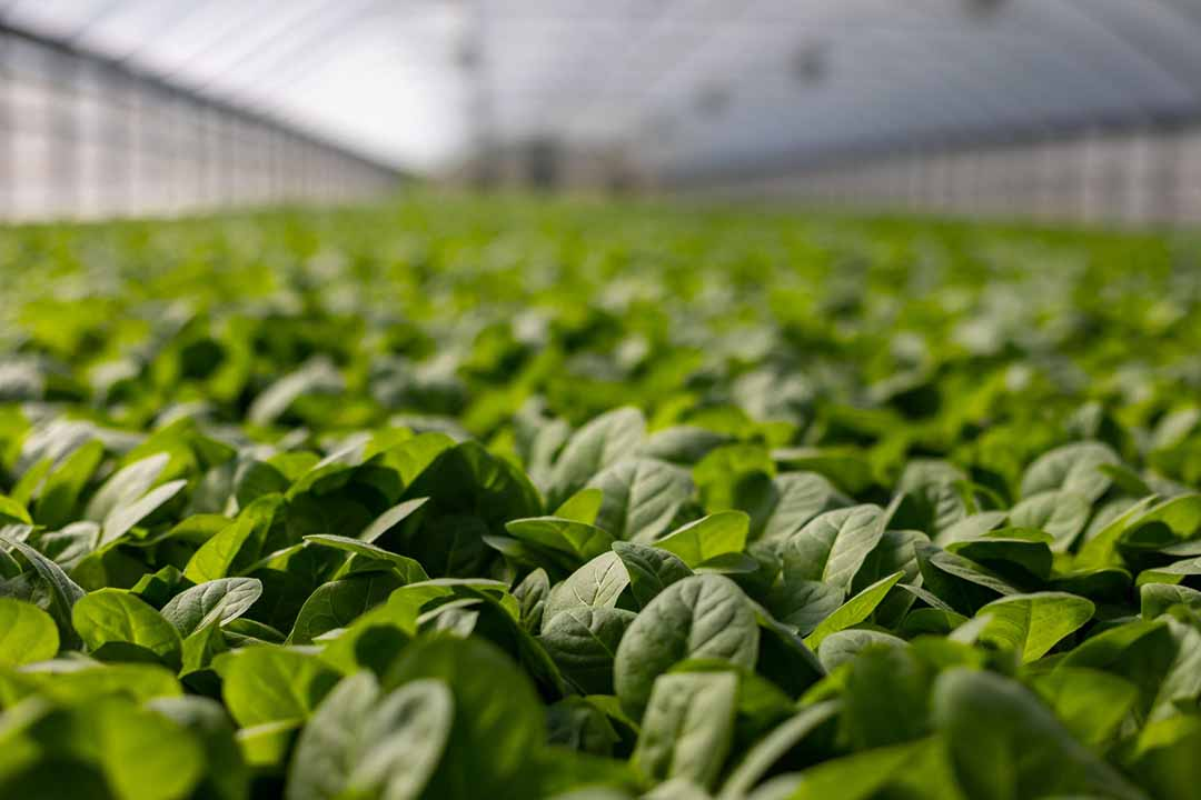 bokchoy-vegetables-that-can-grow-in-shade