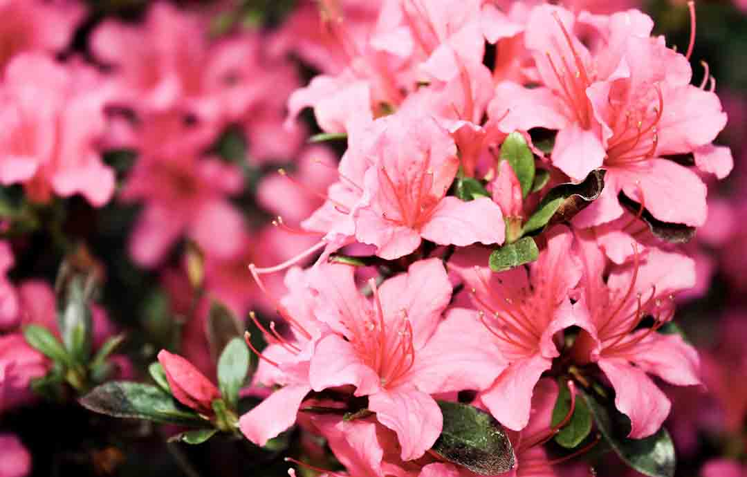 Azalea-Shade-Loving-Shrubs-And-Bushes