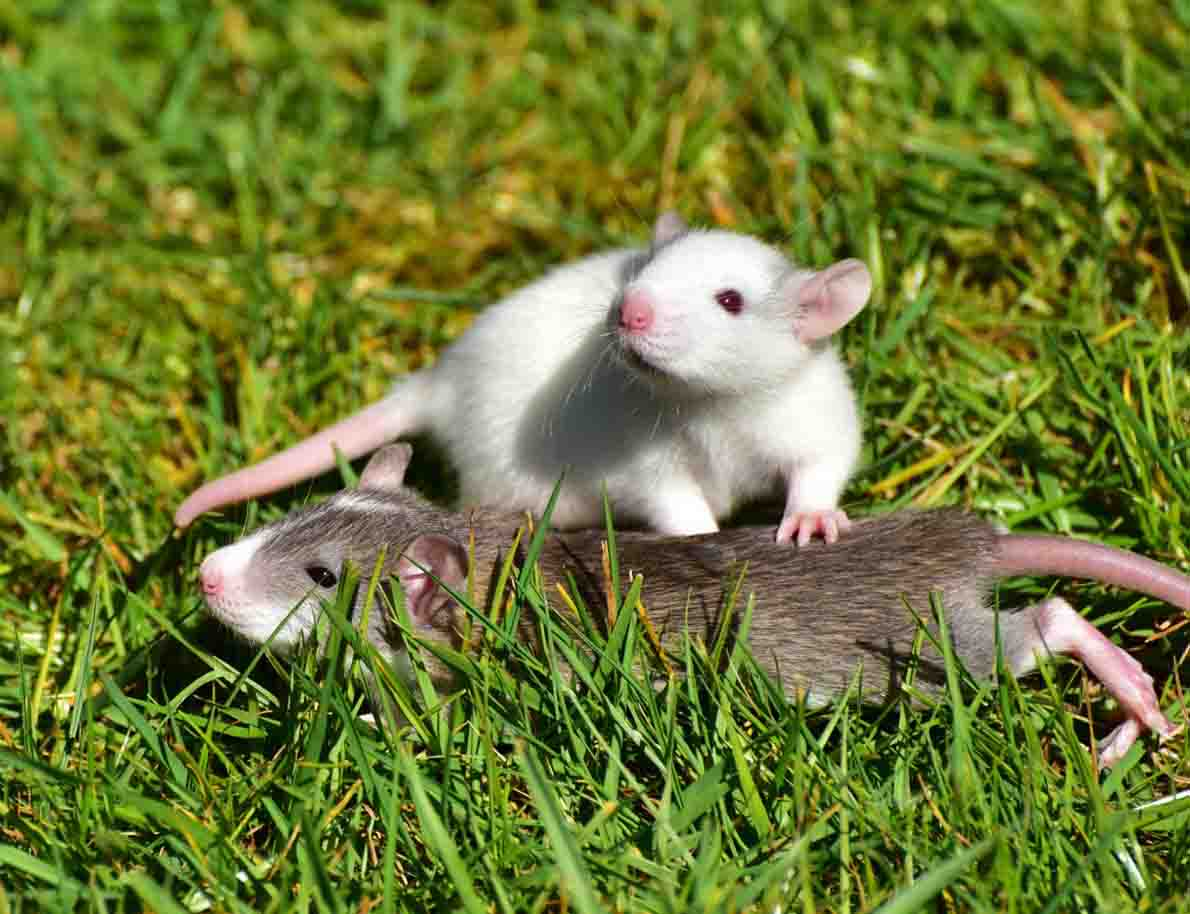 How-To-Get-Rid-Of-Rats-And-Mice-In-Your-Garden