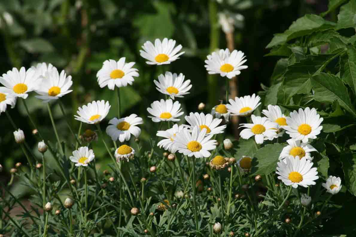 chamomile-medicinal-plants-you-should-grow-in-garden