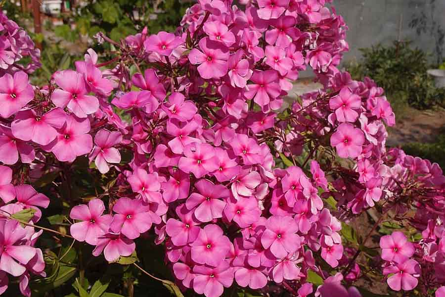 phlox-plants-that-attract-butterflies